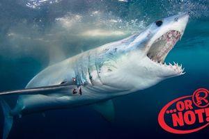 Cá mập có thể ngửi thấy mùi máu người cách xa một dặm?
