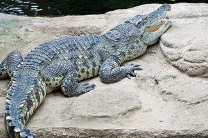 Khám phá thú vị về cá sấu Xiêm quý hiếm