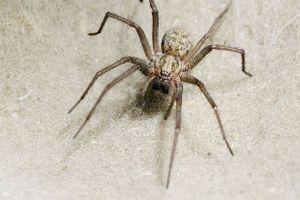 Kinh dị nhện làm ổ, giăng tơ trong tai người