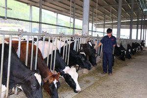 Hơn 5 tỉ đồng phát triển đàn bò sữa