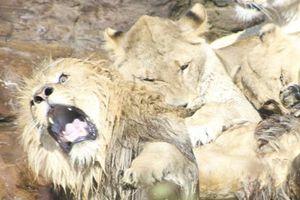 9 con sư tử cái hiệp lực tấn công, cắn xé sư tử đực đầu đàn