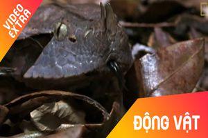 Cách săn mồi nhanh như chớp của loài rắn hổ lục Gaboon ở Châu Phi