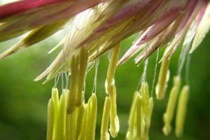Bí ẩn hoa tre- loài hoa trăm năm nở một lần không phải ai cũng biết