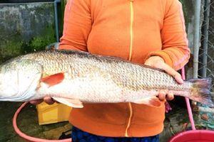 Nữ tiểu thương mua được cá vàng óng ánh, nghi cá sủ vàng