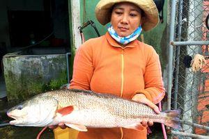 Huế: Thương lái mua được cá lớn nghi cá sủ vàng quý hiếm