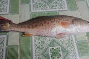Nghi cá sủ vàng nặng 2,5 kg mắc lưới ngư dân