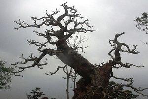 Chiêm ngưỡng những gốc cây 'siêu khủng', giá tiền tỷ