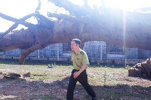 Kiểm lâm nói gì về 3 cây 'kỳ quái' bị CSGT chặn phạt tại TT-Huế?