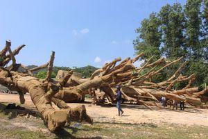 Kiểm lâm có bồi thường nếu 3 cây đa khổng lồ chết khi bị tạm giữ?