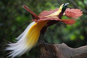 Khám phá về loài chim thiên đường có ngoại hình gây sốt