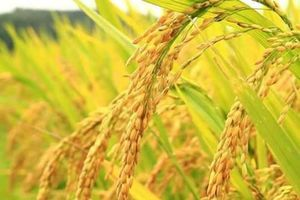 Tận mục giống gạo Bồ Nâu tiến vua chỉ có ở Hà Nội