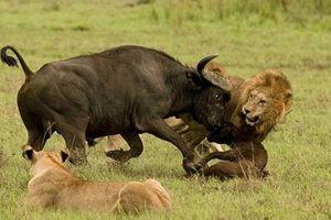 Clip: Ớn lạnh cảnh trâu rừng 'đơn thương độc mã' quyết chiến với 3 con sư tử bảo vệ con