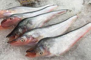 Điều ít người biết về cá trèn bầu nổi tiếng ĐBSCL
