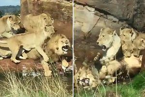 Sư tử đực cũng chịu 'thảm bại' trước bầy sư tử cái
