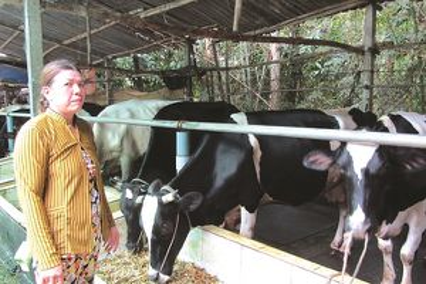 Làm giàu từ việc chăn nuôi bò sữa