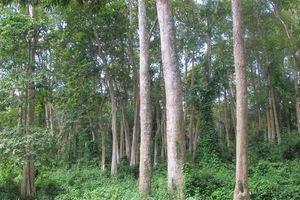 Tái cơ cấu lâm nghiệp Nghệ An: Cải thiện chất lượng, nâng cao giá trị vốn rừng