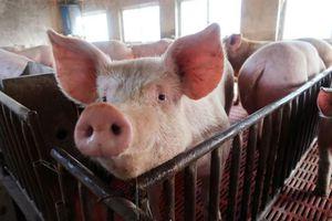 Thái Bình chủ động ngăn chặn dịch tả lợn Châu Phi