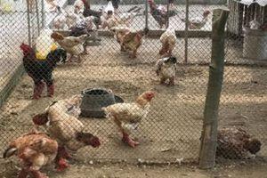 Thu gần tỷ đồng/năm nhờ nuôi giống gà 'chân to' quý, hiếm