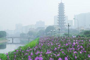 Bất ngờ ven sông Tô Lịch có con đường hoa tím nên thơ