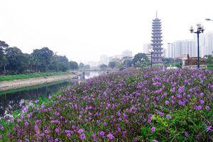 Ngỡ ngàng dải hoa chiều tím thơ mộng bên sông Tô Lịch