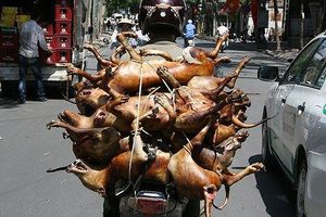 Phó ban Tuyên giáo Hà Nội: 'Bỏ ăn thịt chó phải có lộ trình'