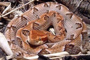 Loài rắn cực độc nhìn tưởng cành cây khô ở Việt Nam