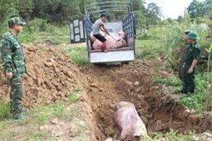Nếu nhiễm bệnh dịch tả lợn Châu Phi, cần tiêu hủy 100% đàn lợn