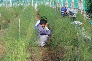 Sản xuất măng tây xanh theo liên kết chuỗi