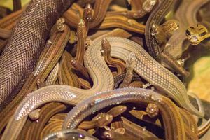 Hành khách gây náo loạn vì mang hơn 20 con rắn lên máy bay
