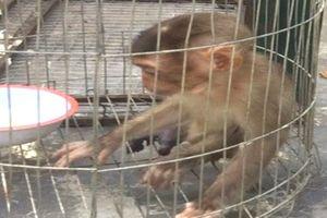 Tiếp nhận 1 cá thể khỉ đuôi lợn quý hiếm để cứu hộ