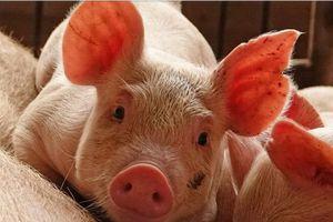 Cách nào ngăn dịch tả lợn châu Phi vào Việt Nam?