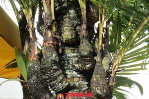Chiêm ngưỡng những cây dừa 'độc, lạ' ở Tây Đô