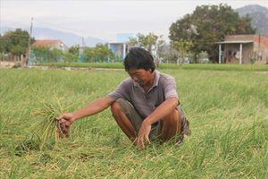 Ninh Thun: Hành tím rt giá, nông dân ng ngi không yên