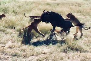 Clip: Linh dương đầu bò một mình đả bại 8 con sư tử