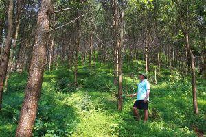 Yên Bái: Hiệu quả từ trồng rừng bền vững