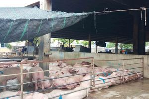 Huế: Ngăn chặn nguy cơ xâm nhiễm bệnh dịch tả lợn Châu Phi