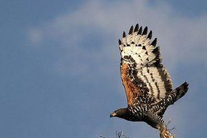 Clip: Chiến thuật săn mồi khôn ngoan của đại bàng
