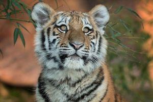 Hổ cái bị tòa tuyên 'án tử' vì giết 13 mạng người
