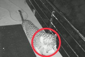 Clip: Báo đốm truy sát, ăn thịt chó nhà trong đêm