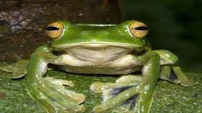 Loài ếch kỳ quặc, bay lượn 'như chim', có ở VN