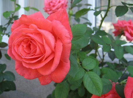 Ky thuat trong cay hoa Hong trong chau cho hoa no ruc ro quanh nam - Anh 1